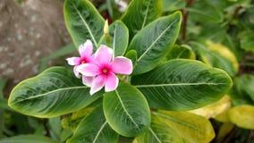 Rosa blomma för impalalilja Arkivfoton