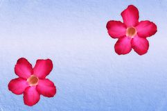 Rosa blomma för impalalilja på blå bakgrund royaltyfri bild