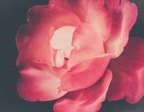 rosa blomma för jazzfestival bara i sommar i en trädgård i närbild för brett dagsljus arkivbild