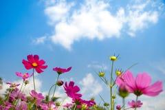 Rosa blomma för kosmos som sparas under ljus - blå himmel och vit fördunklar arkivbild