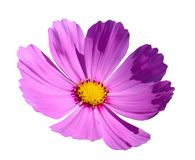 Rosa blomma för kosmosblommor som isoleras på den vita bakgrunden, urklippbana royaltyfria foton