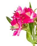 Rosa blomma för liljablommor Royaltyfri Fotografi