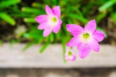 Rosa blomma för liljaregnlilja Fotografering för Bildbyråer