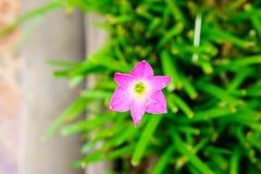 Rosa blomma för liljaregnlilja Royaltyfri Fotografi