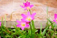 Rosa blomma för liljaregnlilja Arkivbild