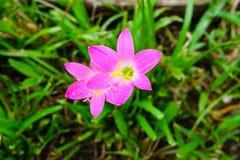 Rosa blomma för liljaregnlilja Royaltyfri Foto