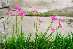 Rosa blomma för liljaregnlilja Arkivfoto