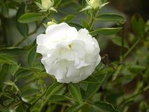 Rosa blomma för liten vit färg i trädgård arkivfoto