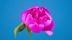 Rosa blomma för pionblomma