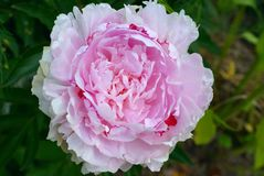 Rosa blomma för stor pion royaltyfri foto