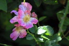 Rosa blomma i blom Arkivfoton