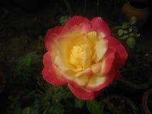 Rosa blomma i mörker royaltyfria bilder