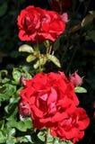 Rosa blomma i olik färg i trädgård arkivfoto