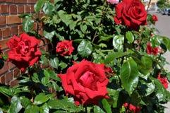 Rosa blomma i olik färg i trädgård royaltyfri foto