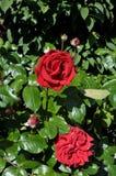 Rosa blomma i olik färg i trädgård royaltyfri fotografi