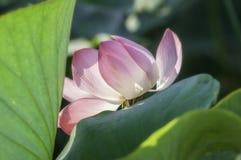 Rosa blomma, lotusblomma, vatten, näckros, dal av lotusblommor, bred flodmynning arkivfoto