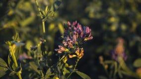 Rosa blomma på ett fält på gryning royaltyfri foto