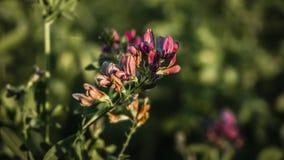 Rosa blomma på ett fält på gryning royaltyfri bild