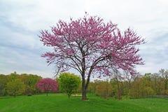 Rosa blomma Redbud träd Arkivbild