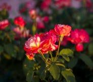 Rosa blomma som tänds av strålarna av solen arkivbilder