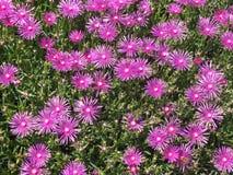 Rosa blommabakgrund Royaltyfri Foto