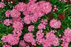 Rosa blommabakgrund Arkivfoton