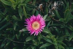 Rosa blommabakgrund Closeupsikt av den edulis blomman för carpobrotus i blom Royaltyfri Foto