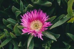 Rosa blommabakgrund Closeupsikt av den edulis blomman för carpobrotus i blom Fotografering för Bildbyråer