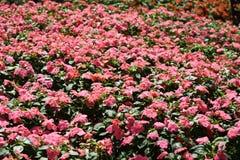 Rosa blommablom i parkera Arkivbilder