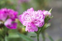 Rosa blommablom med suddig bakgrund Royaltyfria Foton