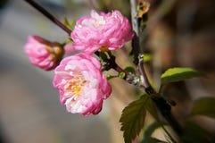 Rosa blommablomning utanför Royaltyfri Bild