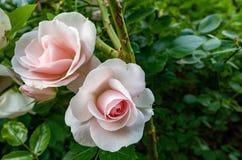 Rosa blommablomningar fotografering för bildbyråer