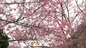 Rosa blommablomningar på filialerna stock video