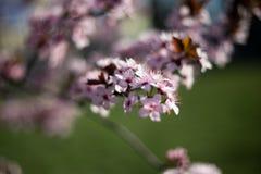 Rosa blommabokeh för original- blomning arkivbilder