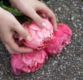 Rosa blommad pion i h?nder royaltyfria foton
