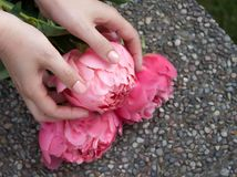 Rosa blommad pion i h?nder royaltyfri foto