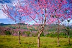 Rosa blommafält i berg med blå himmel på Thailand Royaltyfri Bild