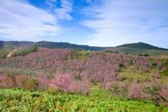 Rosa blommafält i berg med blå himmel på Thailand Fotografering för Bildbyråer