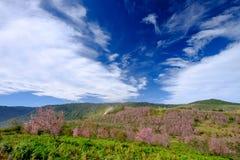 Rosa blommafält i berg med blå himmel på Thailand Arkivbilder