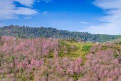 Rosa blommafält i berg på Thailand Fotografering för Bildbyråer
