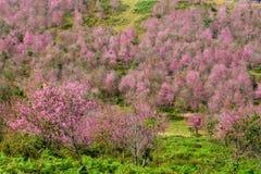 Rosa blommafält i berg på Thailand Royaltyfria Bilder