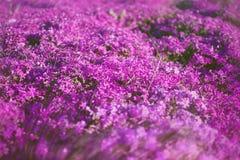 Rosa blommafält, suddig bakgrund för vårnatur Royaltyfri Bild