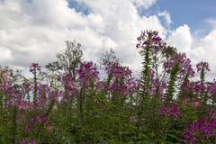 Rosa blommahuvud fotografering för bildbyråer
