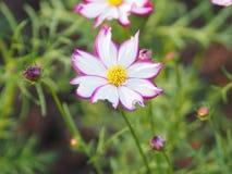 Rosa blommakronblad färgas för att se den delikata vita blandningen på skorrat av naturbakgrund arkivfoto