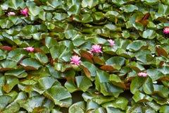 Rosa blommalotusblommanäckros med sidor som svävar på vattnet Nederländerna Juli royaltyfri bild