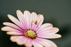 Rosa blommamakrofotografi med spindeln royaltyfri bild