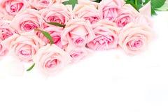 Rosa blommande rosor Royaltyfria Foton