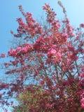 Rosa blommande träd Fotografering för Bildbyråer