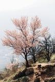 Rosa blommande träd i bergen i spökedalen i Krimet arkivfoton