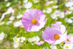 Rosa blommaoroundn fjädrar Royaltyfri Fotografi